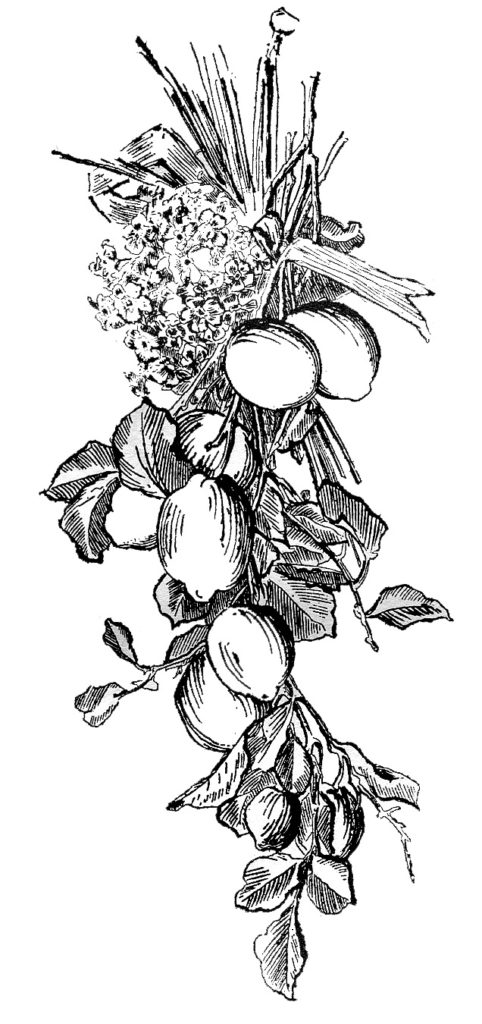 fruit lemon engraving image