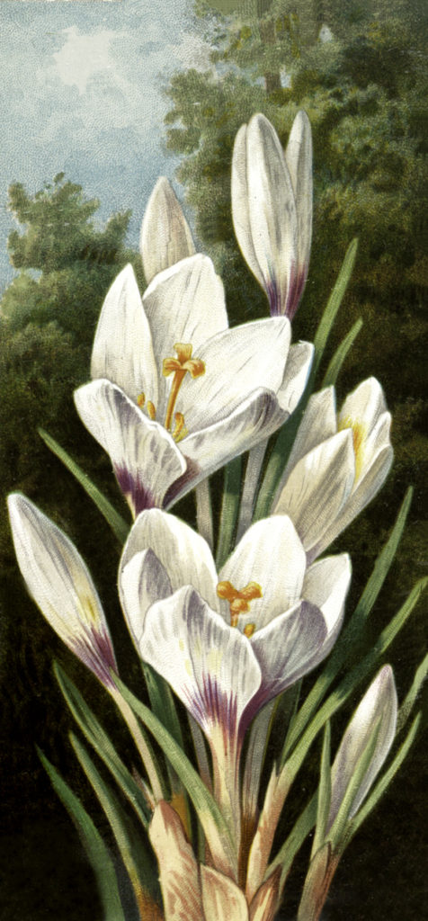 white crocus flower vintage illustration