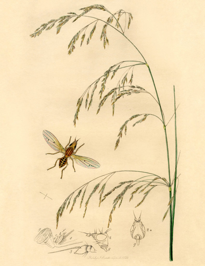 antique botanical insect illustration