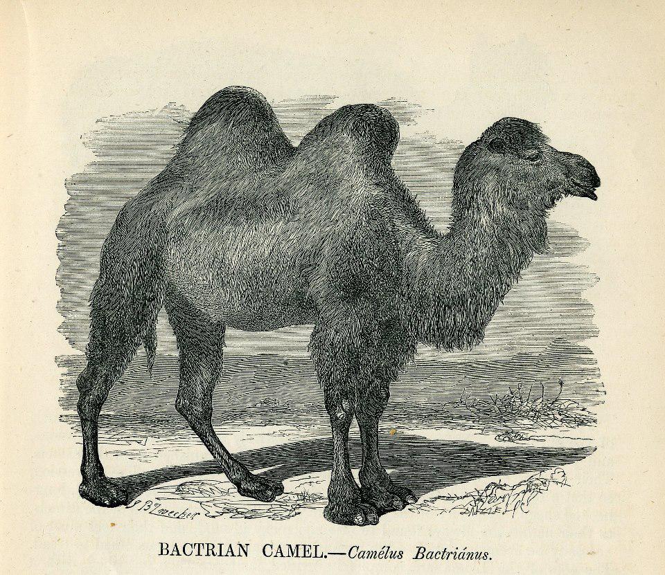 bactrian camel black white illustration