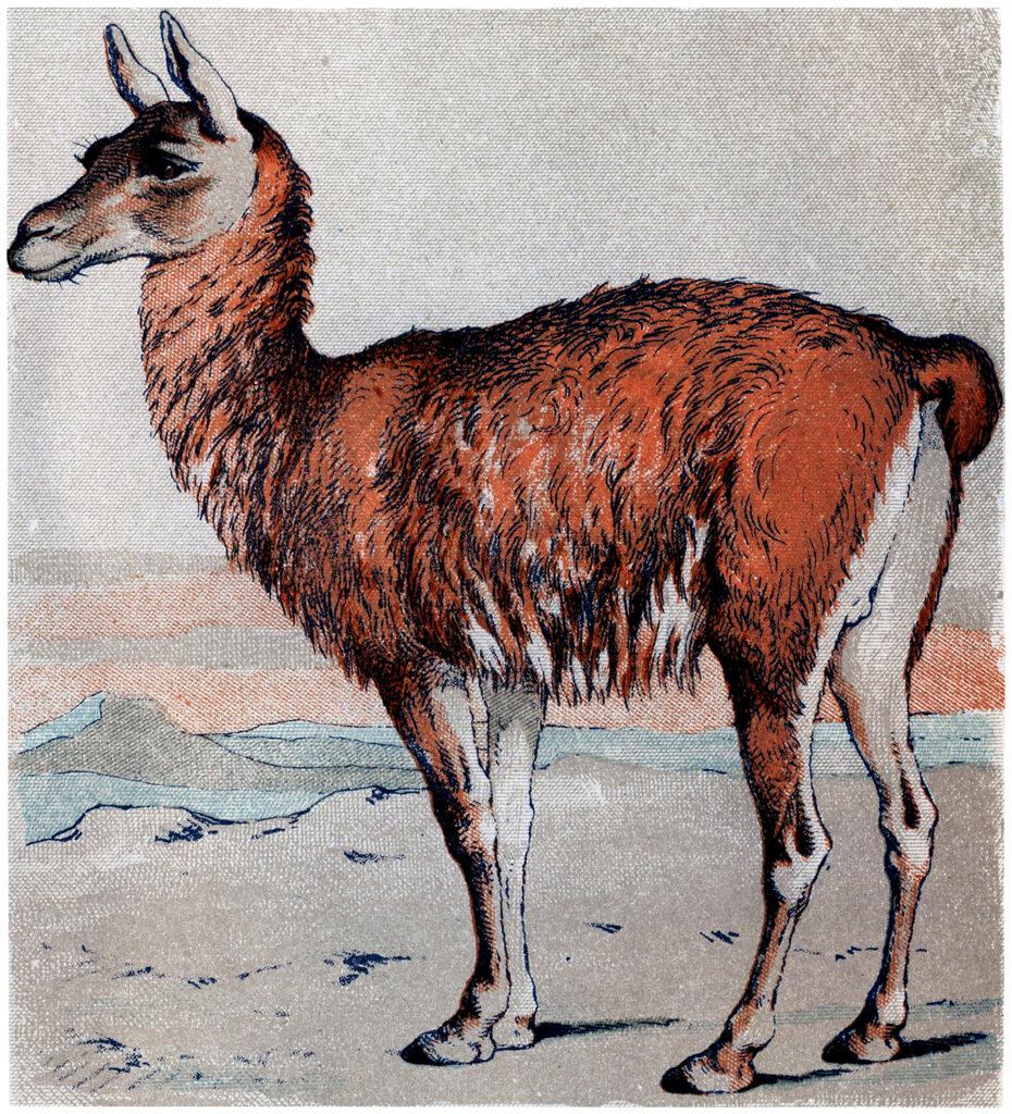 guanaco camel illustration