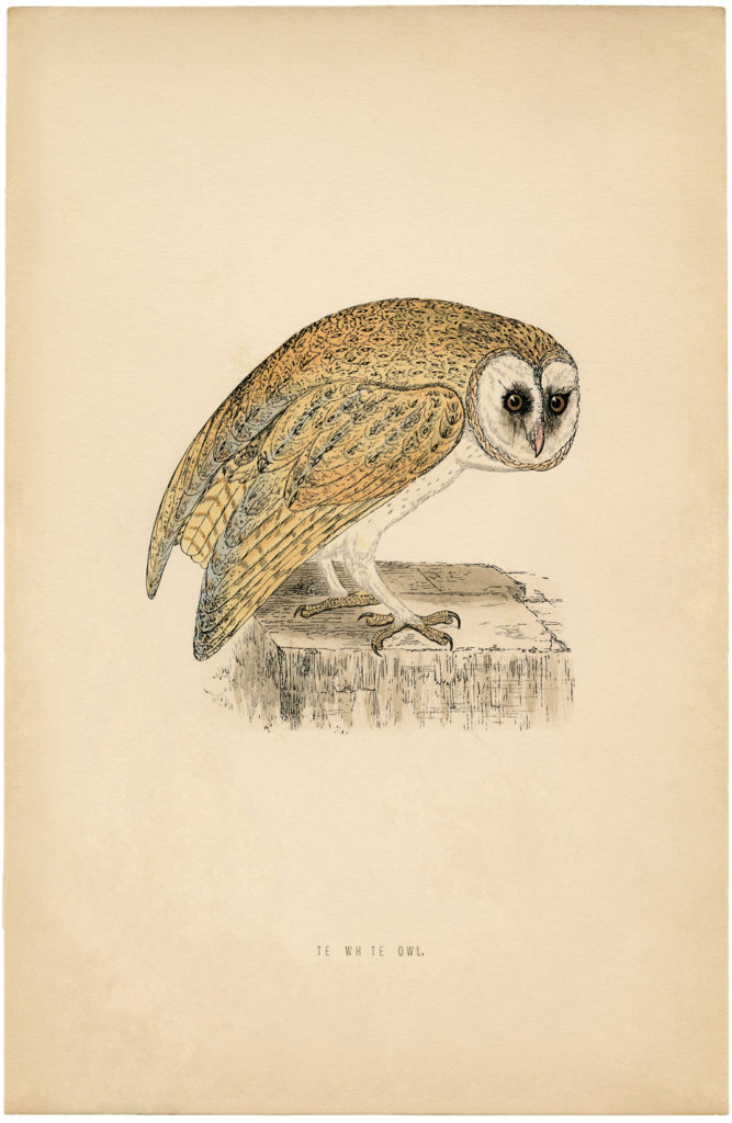 natural history barn owl print clipart