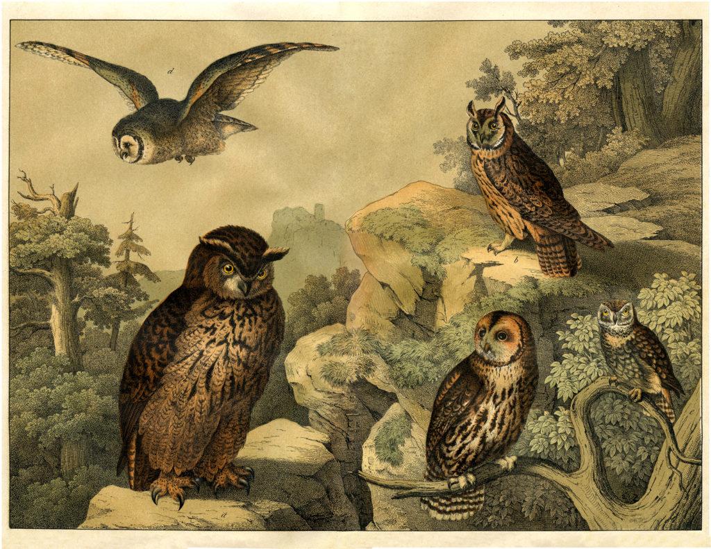natural history owls print image