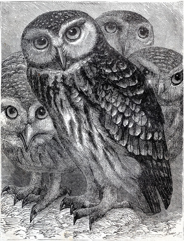 black white owl printable clipart