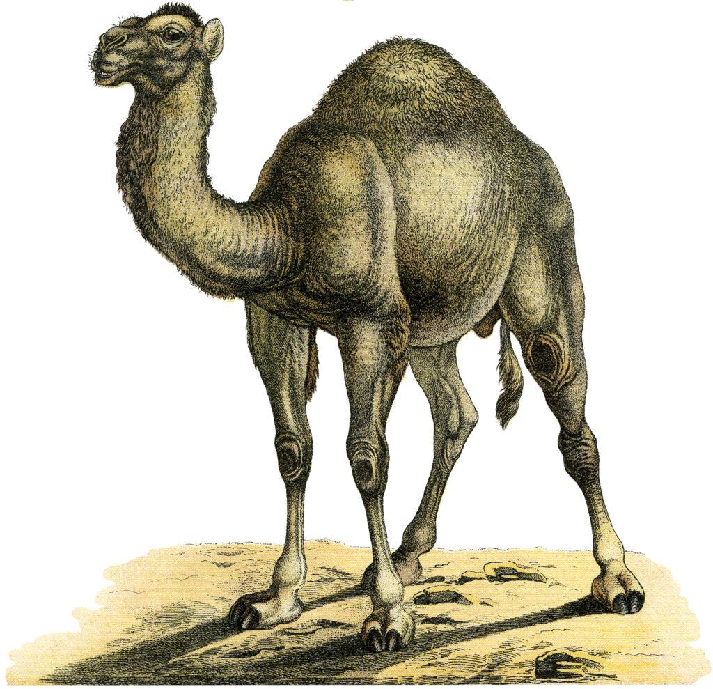 vintage camel one hump image