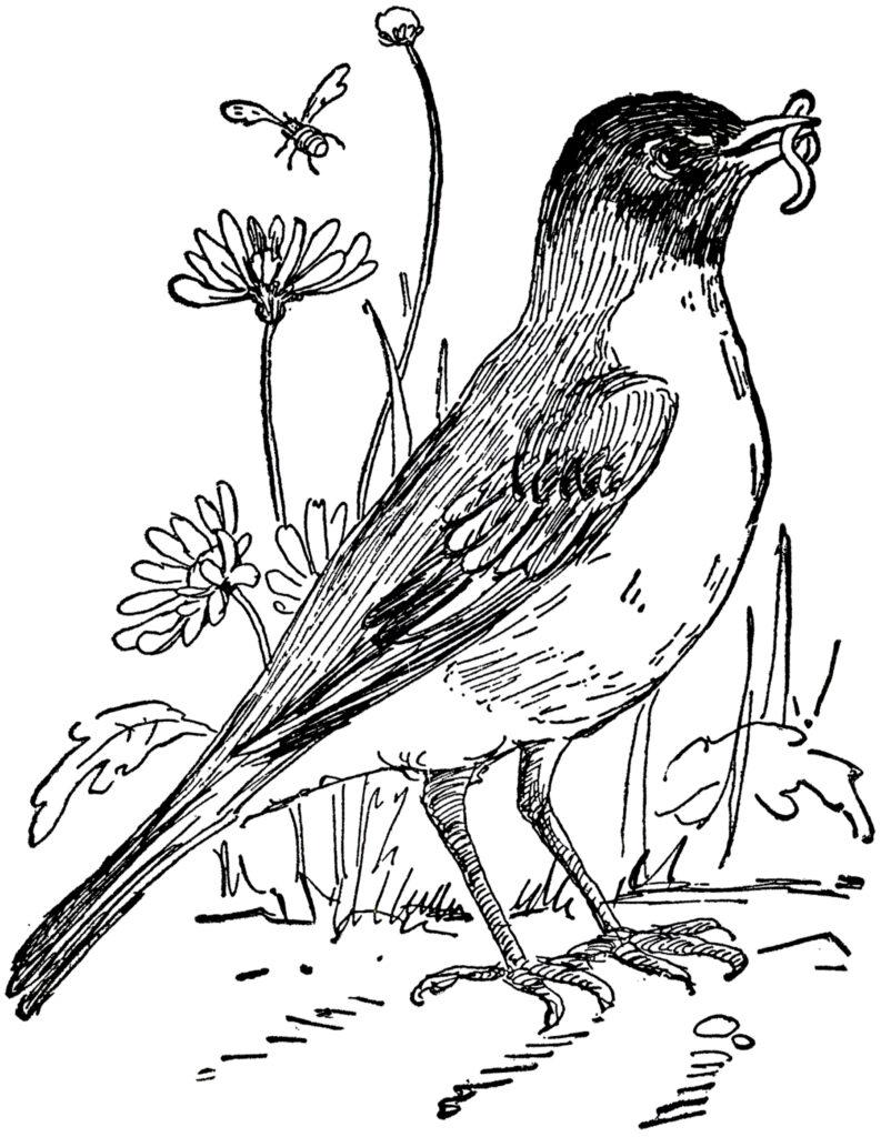 vintage robin line drawing illustration