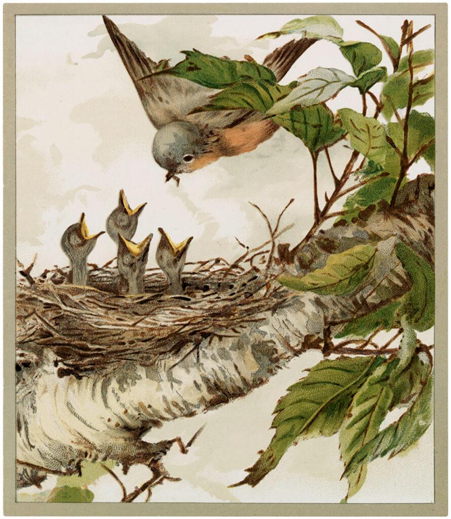vintage robin babies nest illustration