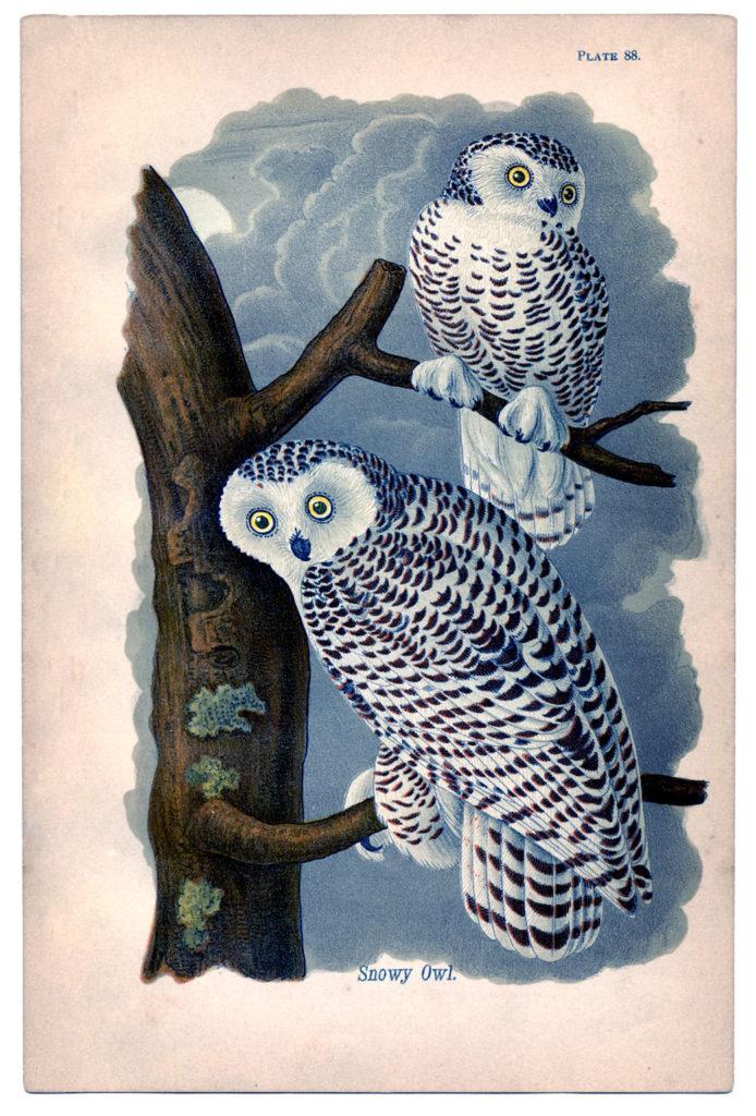 snowy owls vintage image