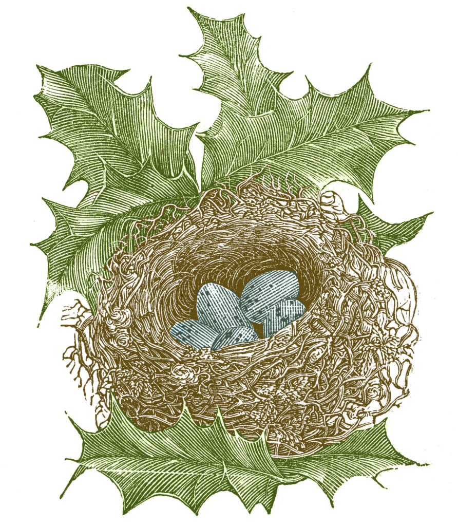 nest holly eggs colorized illustration
