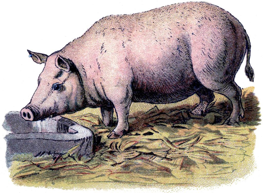 vintage pig trough illustration