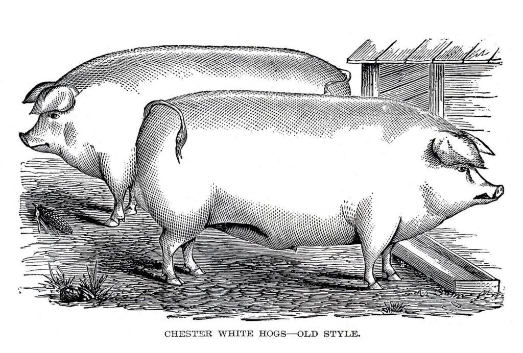 pigs black white engraving image
