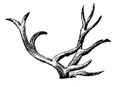 deer antlers vintage illustration