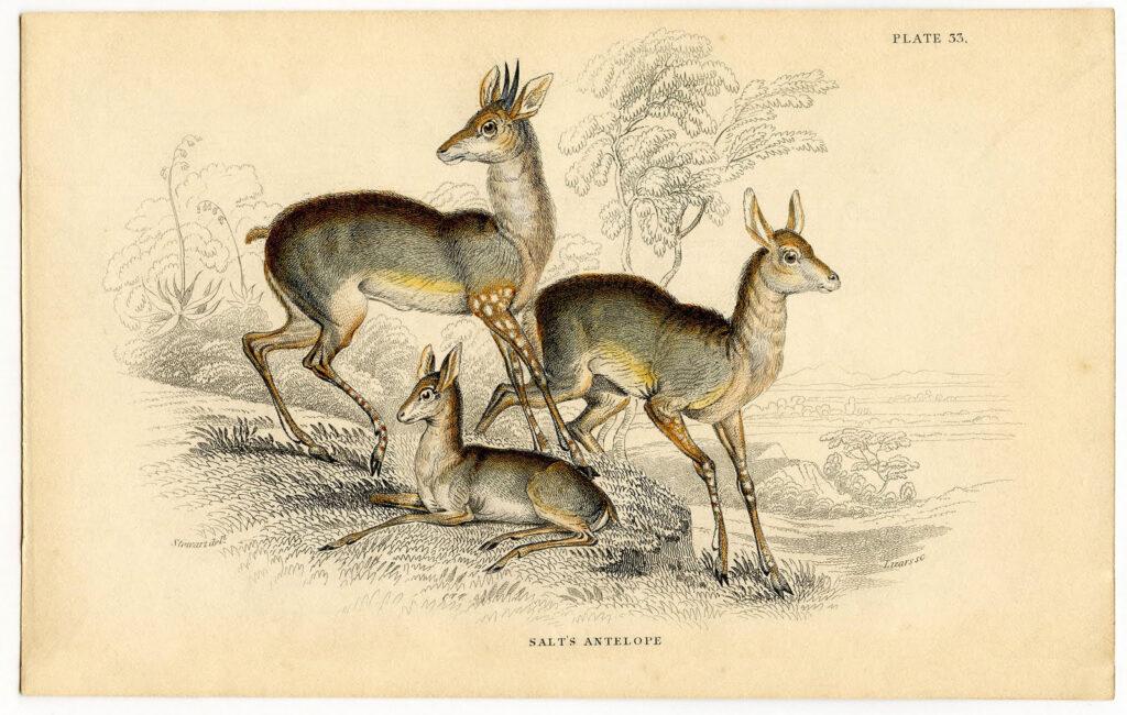 vintage antelope image