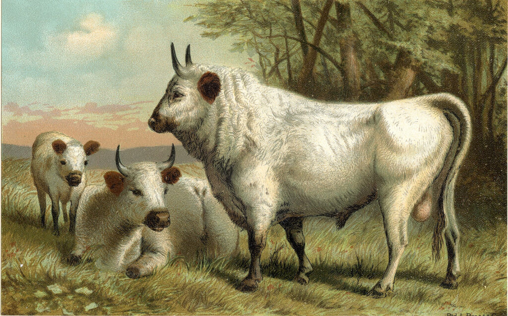 white cows clipart