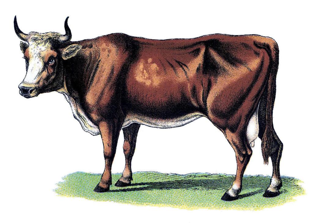 vintage brown cow image