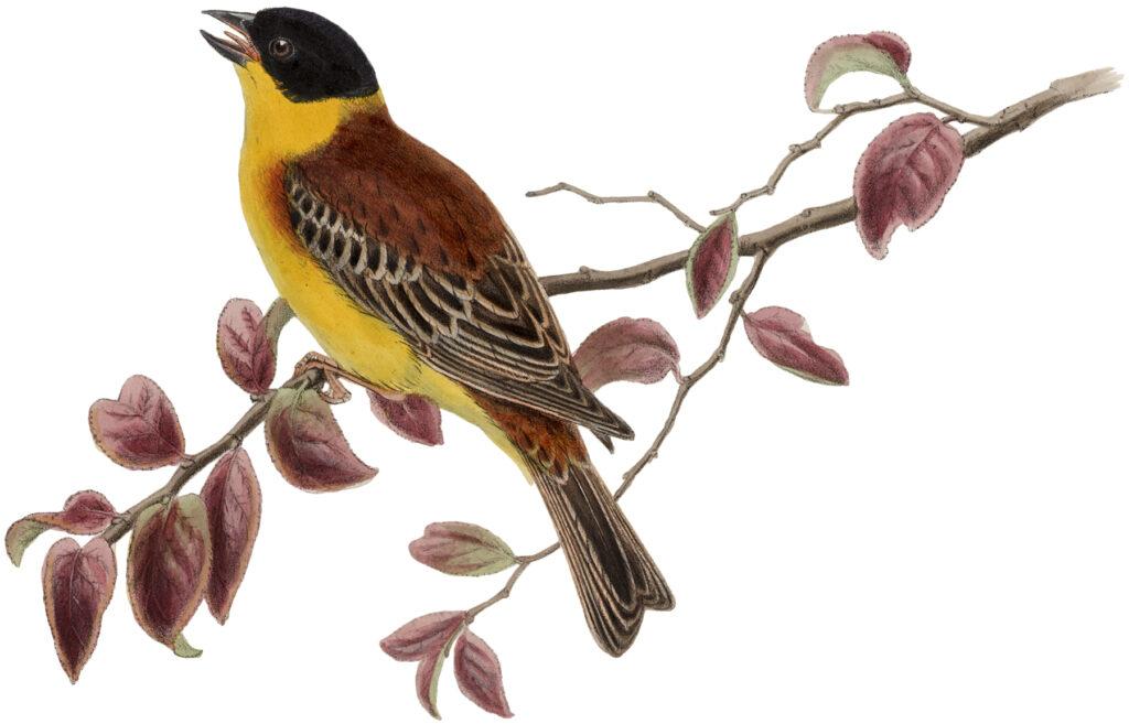 yellow bird branch clipart