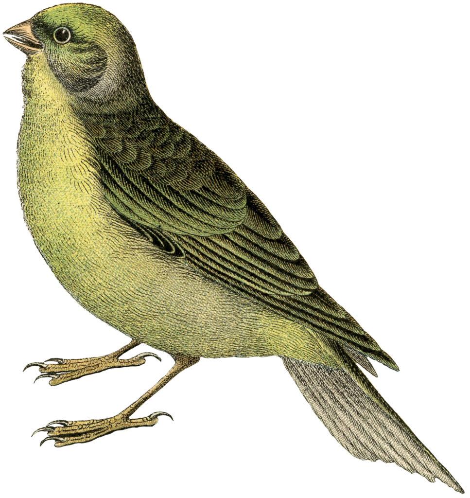 yellow bird vintage clipart