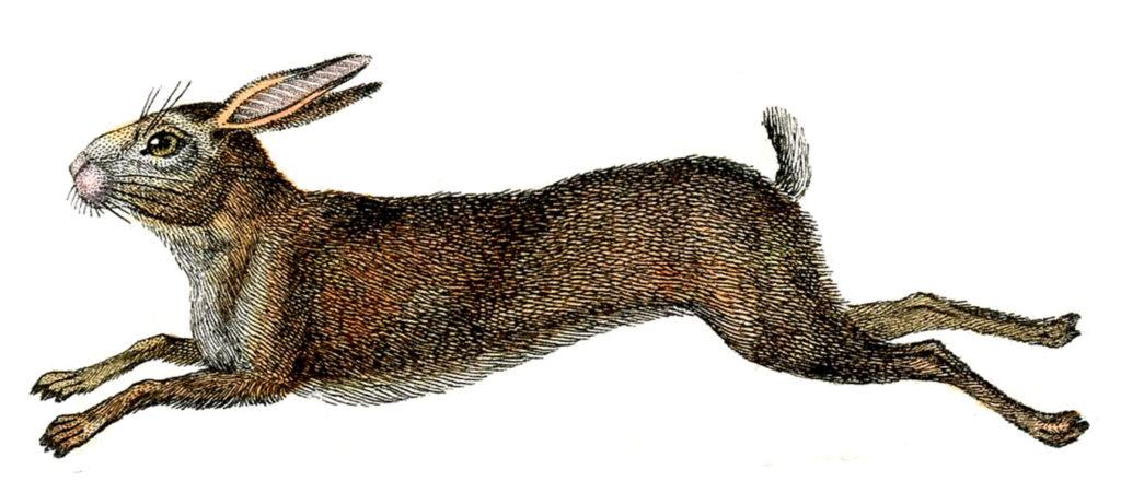 natural history brown rabbit clipart