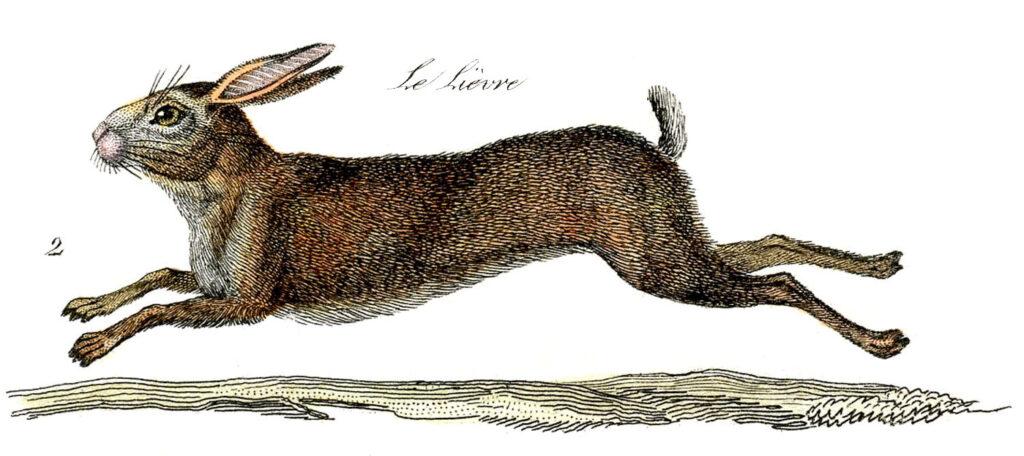 natural history brown rabbit running image