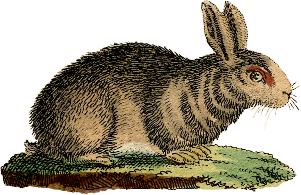 natural history brown rabbit illustration