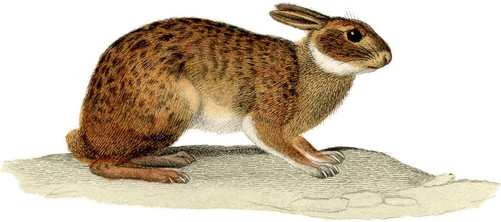 brown white rabbit clip art