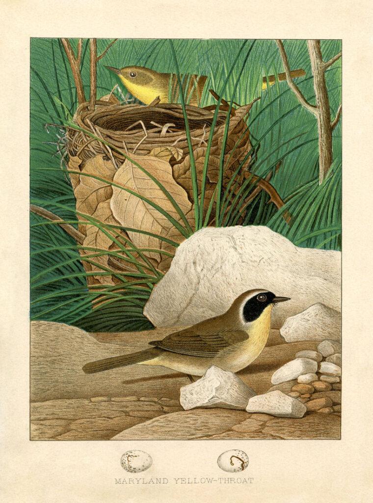 vintage birds nest illustration