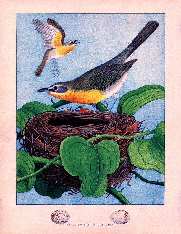 vintage black yellow warbler image