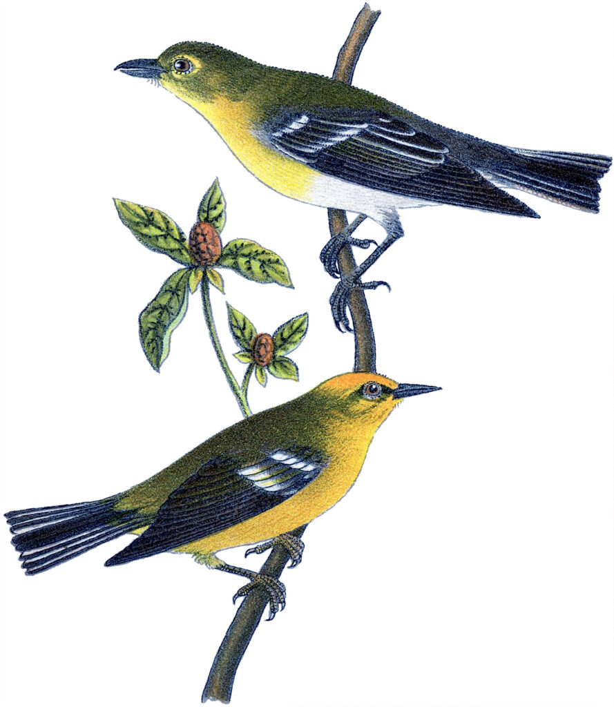 two yellow birds branch image