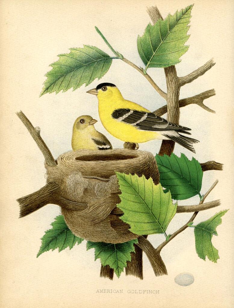 goldfinch nest printable botanical image