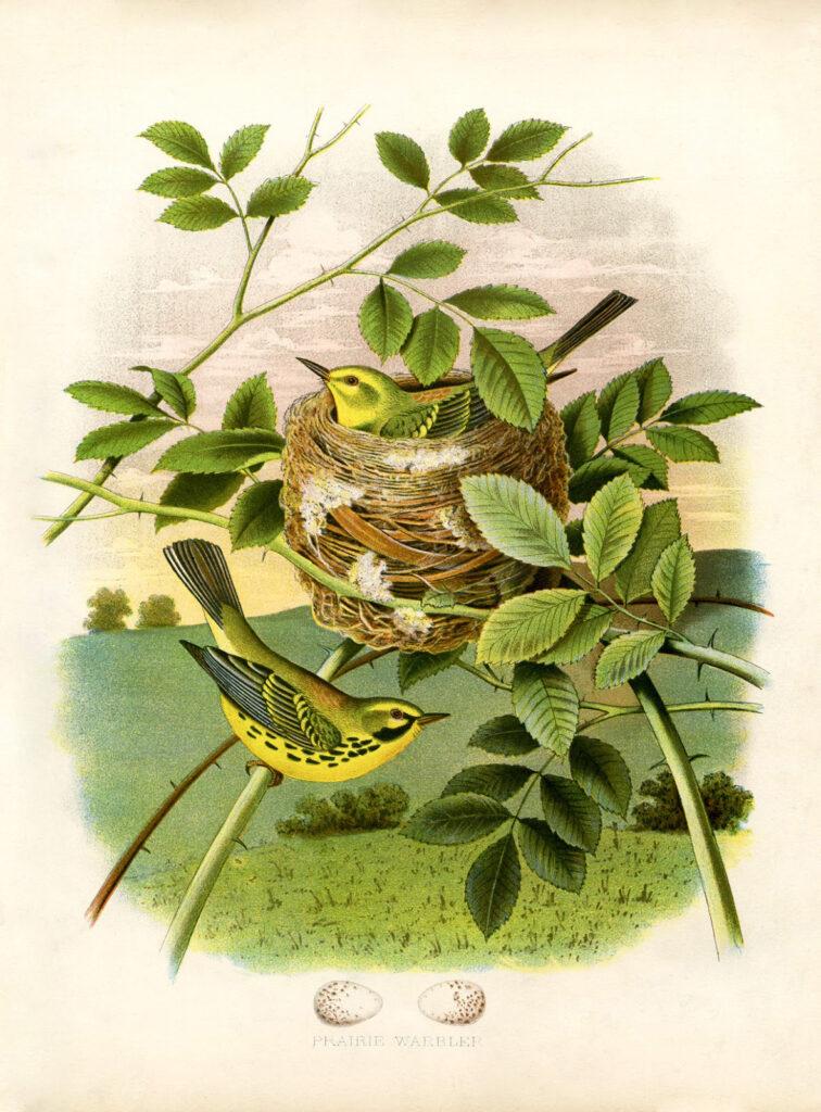 yellow birds nest illustration