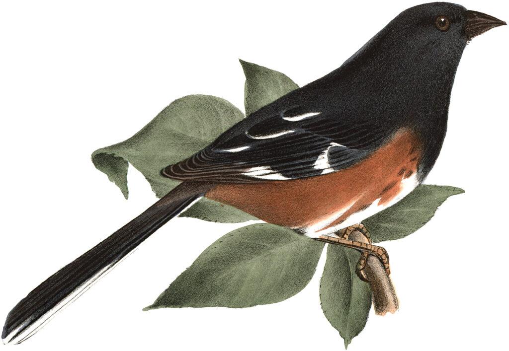 antique bird branch illustration