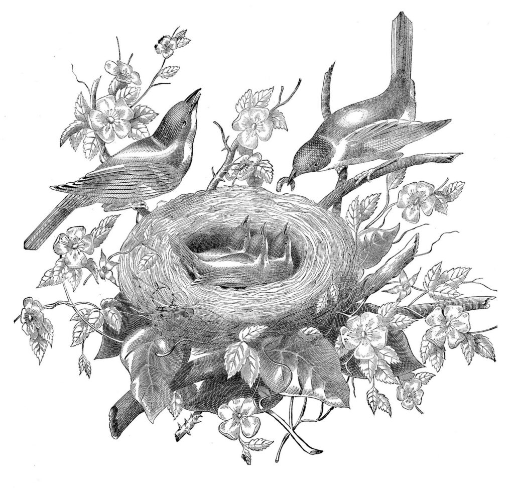 nest birds engraving illustration