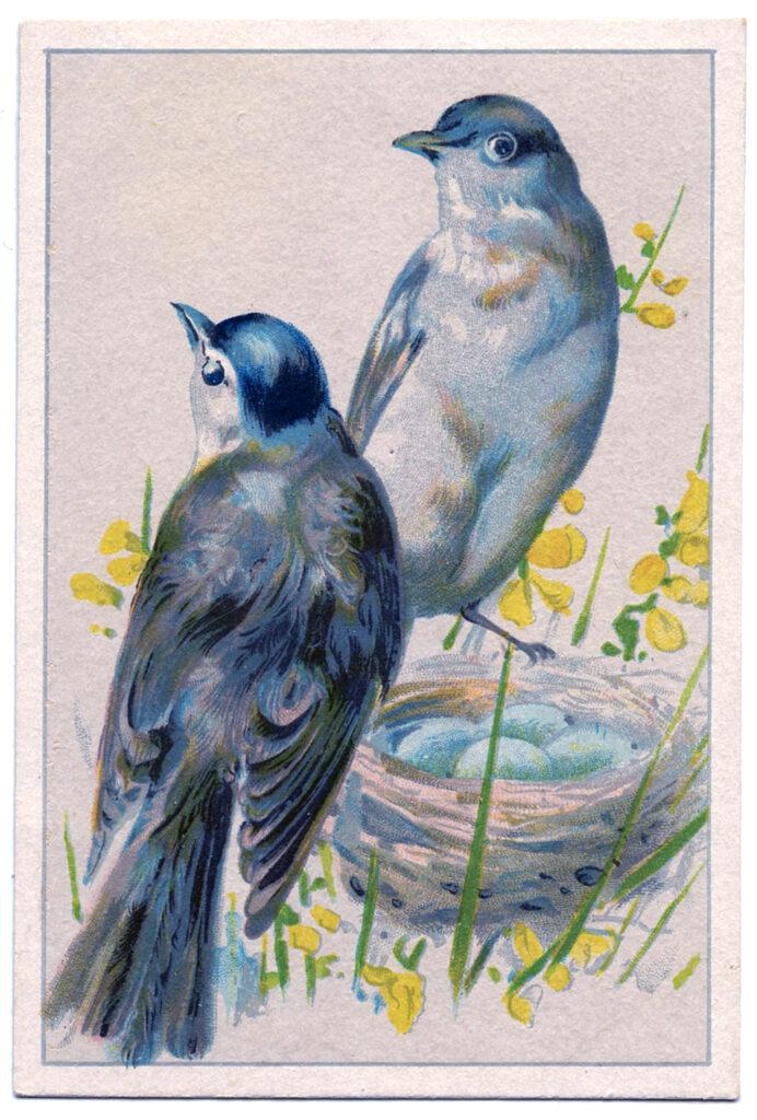 blue birds eggs illustration