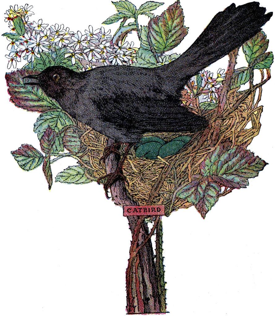 catbird nest image
