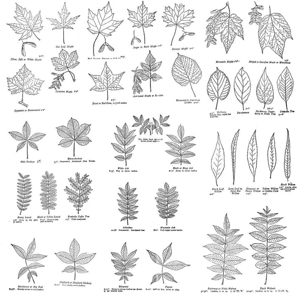 field journal leaf chart clipart
