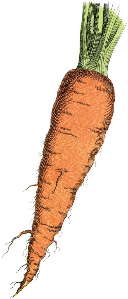 carrot vintage clipart
