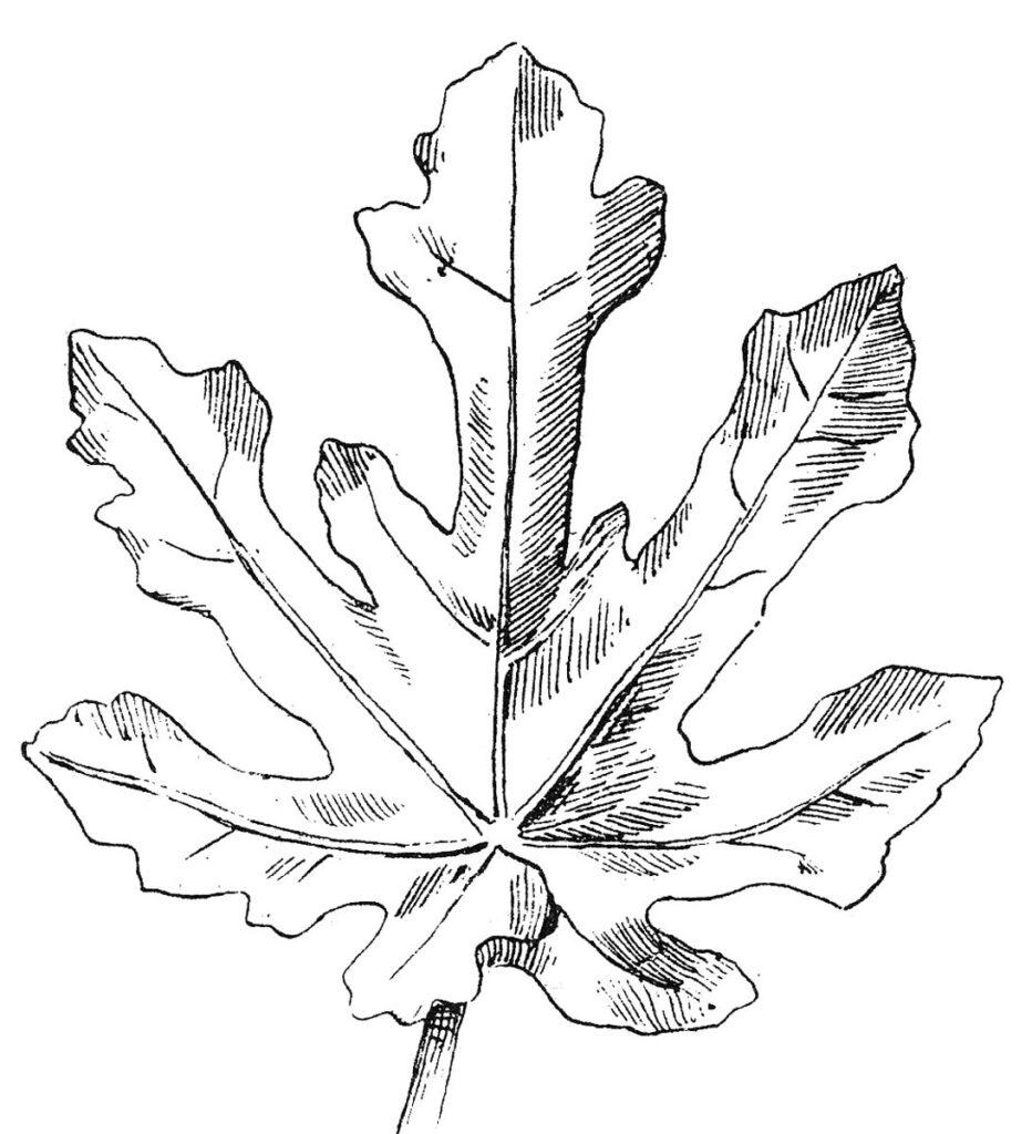 black white clipart oak leaf image