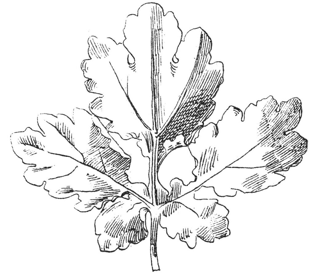 oak leaf black white image