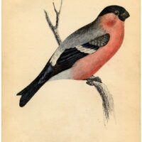 pink bird bullfinch natural history clipart
