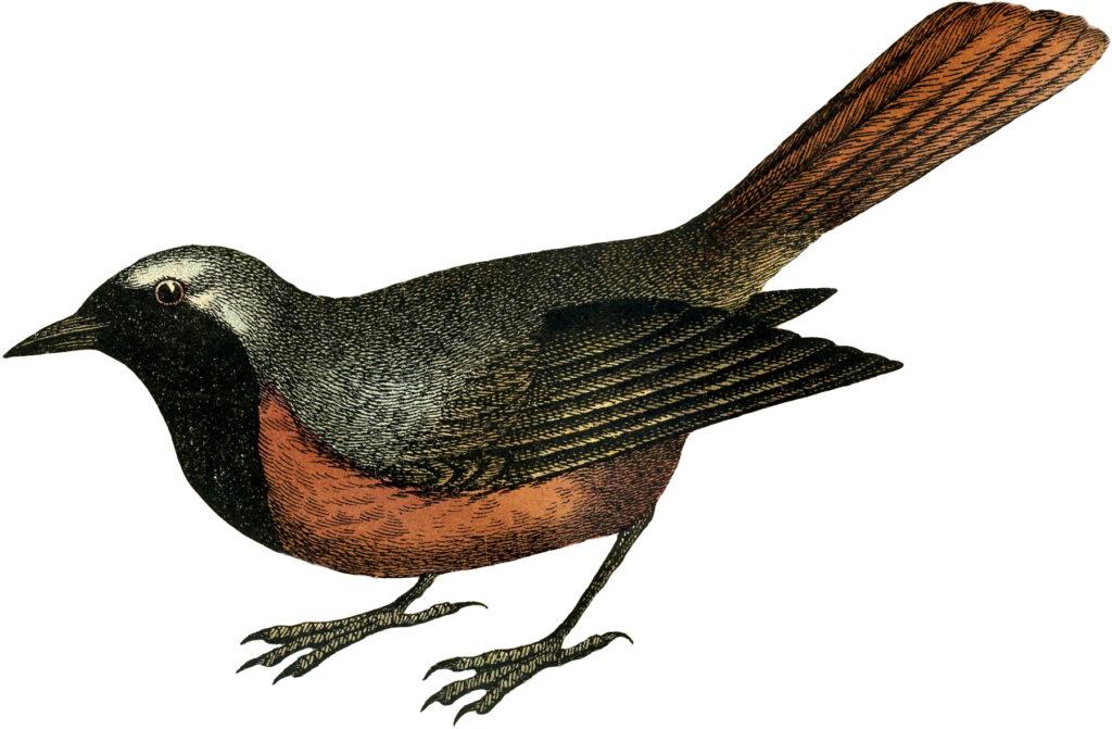 vintage orange bird engraving image