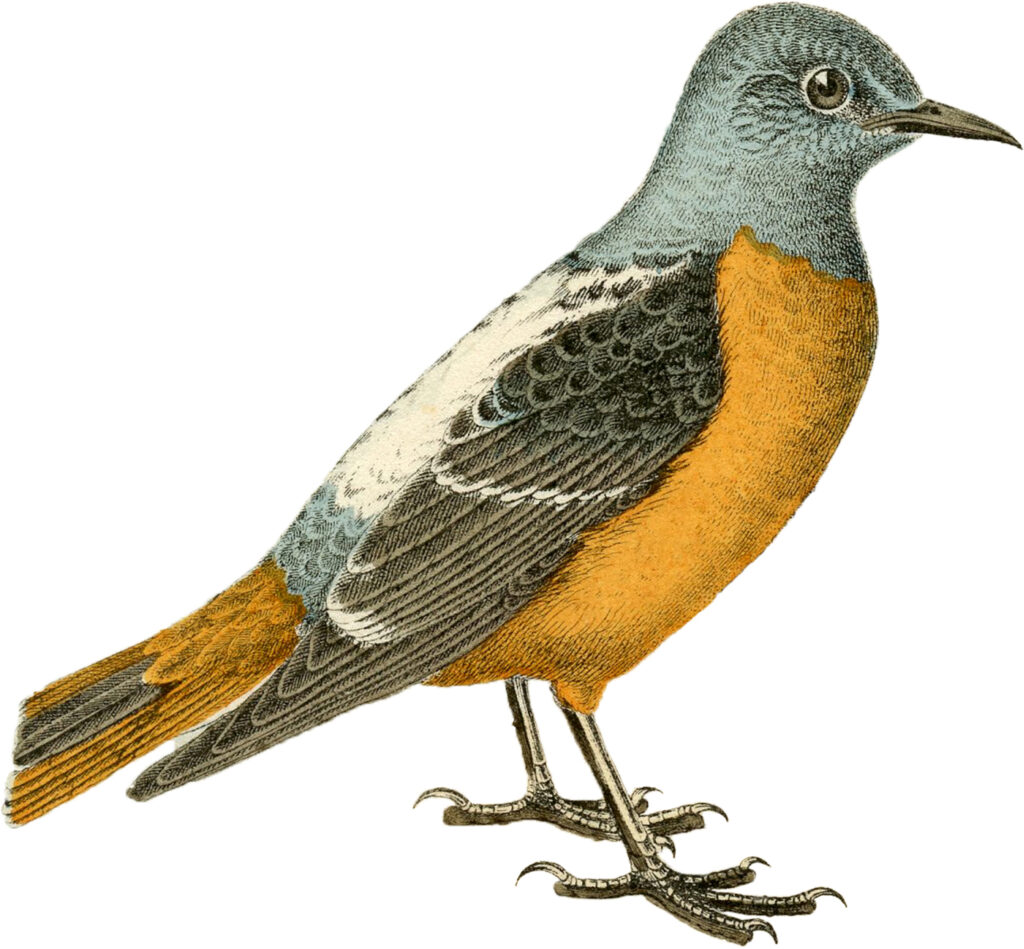 orange blue bird image