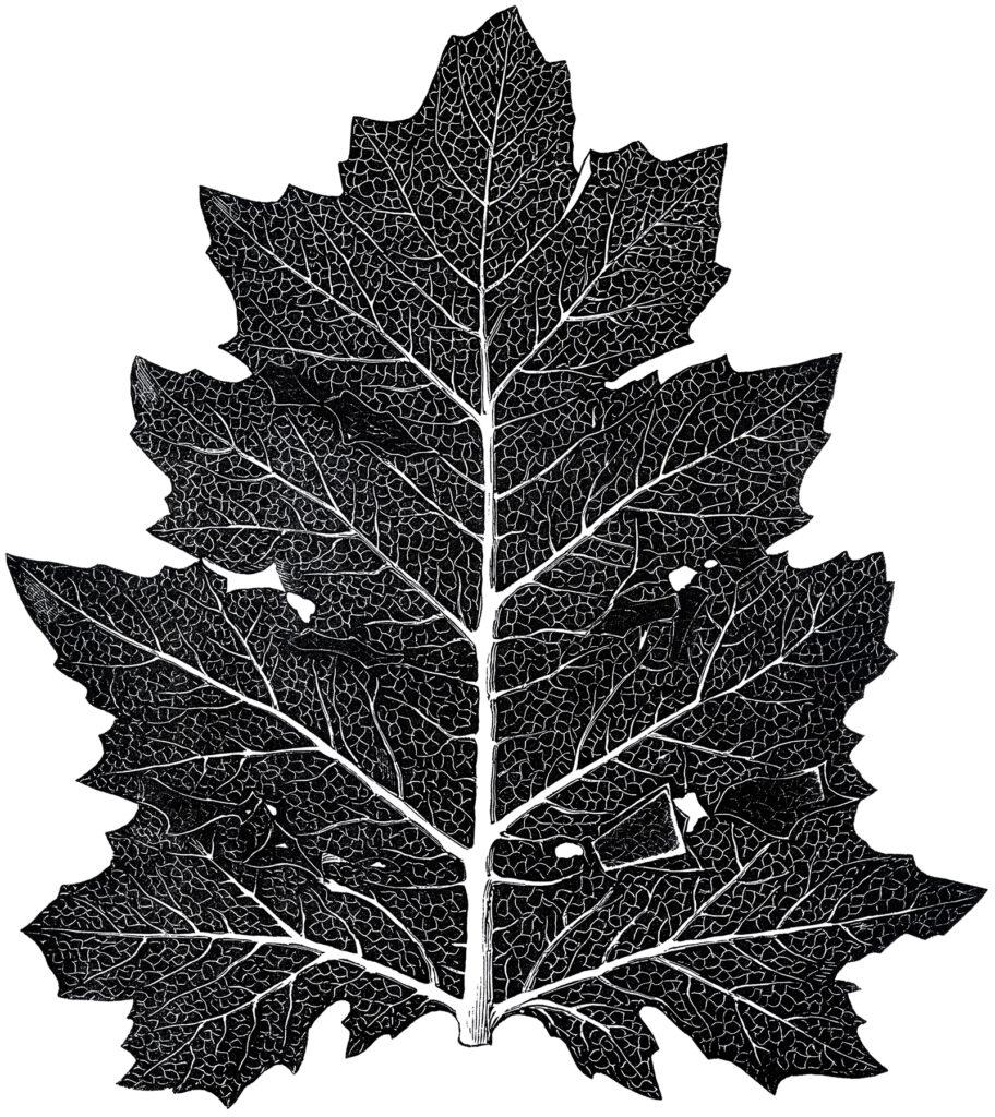 vintage large leaf clipart