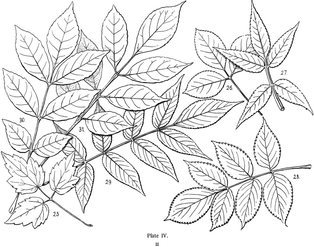 vintage leaves diagram illustration