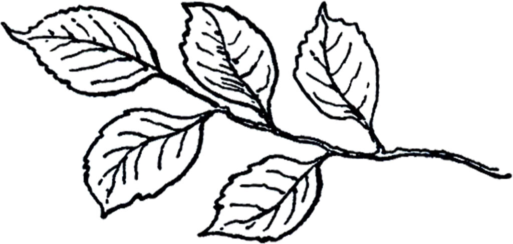 vintage line art leaves branch image