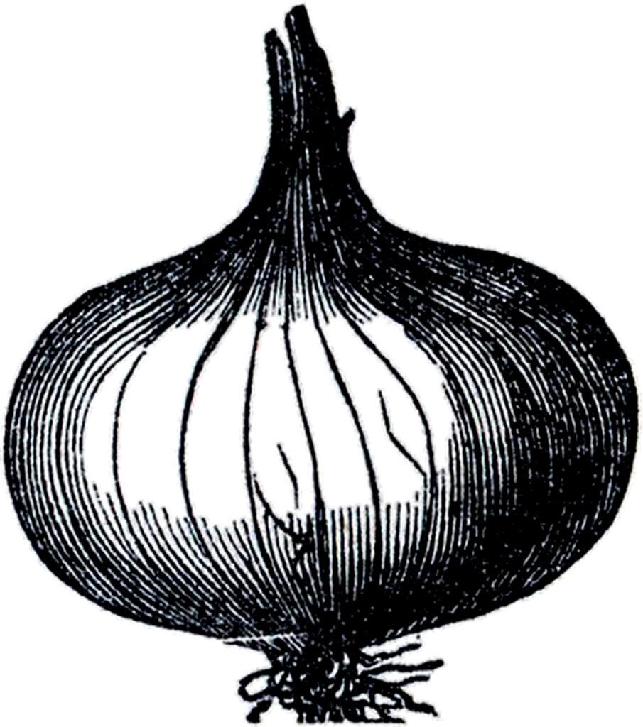 black white onion clipart