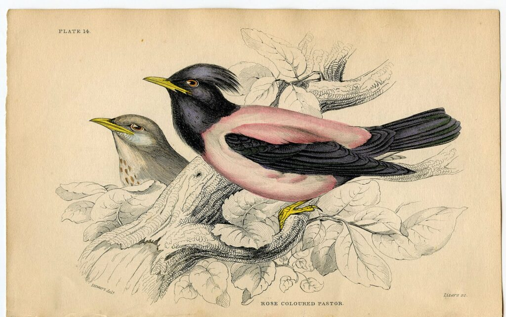 pink black bird natural history image