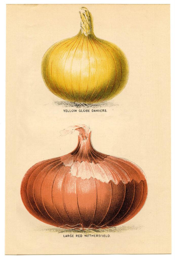 French onion printable image