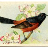 Baltimore oriole illustration