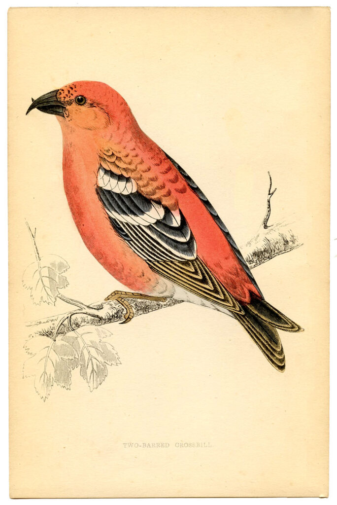 orange pink bird natural history illustration