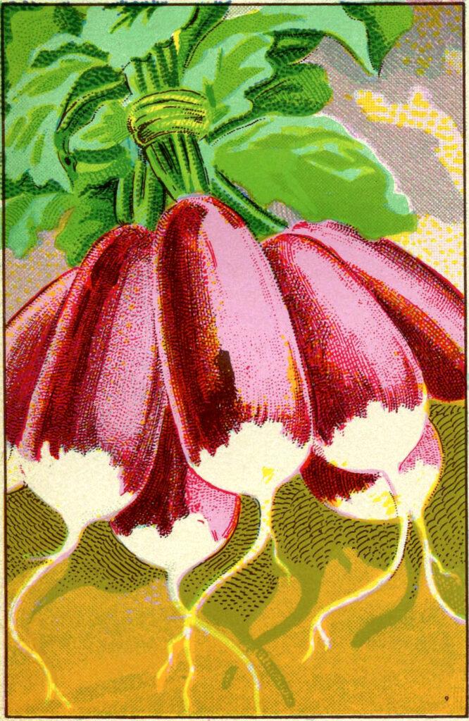 radishes vintage illustration